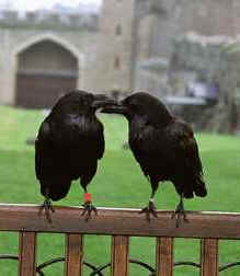 Two ravens on the Tower grounds.